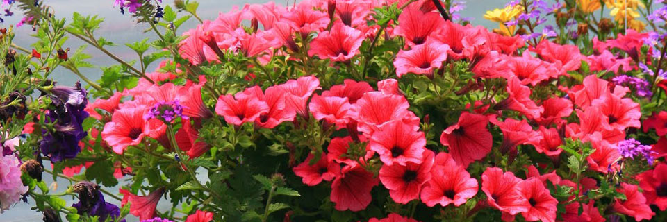 Petunias Annuals Greenhouse